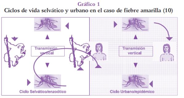 Ciclos de vida selvático y urbano de fiebre amarilla