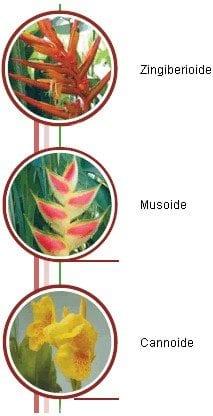 Clases de heliconias