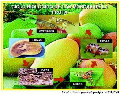 ciclo biologico de las moscas de la fruta