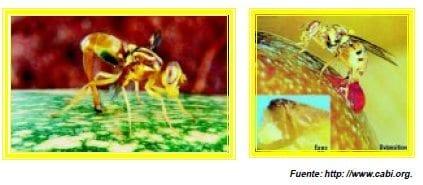 oviposicion de las moscas de la fruta