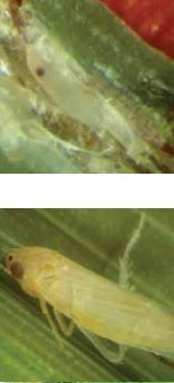 Dalbulus maidis Homoptera-Cicadellidae