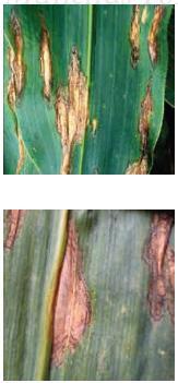 Manchas Foliares por Helminthosporium