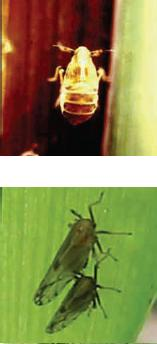 Peregrinus maidis Homoptera Delfacidae