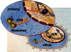 El ADN determina al composición del ARN.
