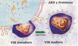 Las proteínas y otras sustancias virales