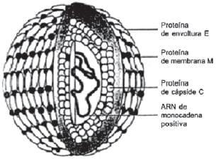 Estructura del virus dengue