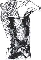 Músculos de la región posterior del tronco