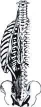 Músculos iliocostal y dorsal largo