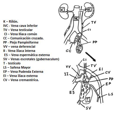 Anatomía del drenaje venoso del testículo izquierdo