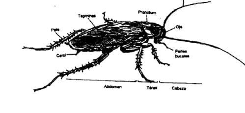 Partes de una cucaracha