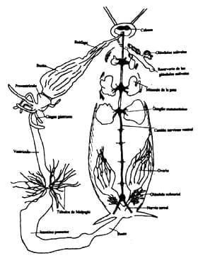 Partes internas de hembra de Periplaneta americana