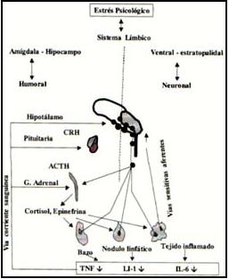 Vías de comunicación entre el sistema Nervioso y el sistema Inmune