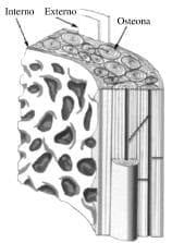 Reconstrucción tridimensional del hueso cortical o compacto